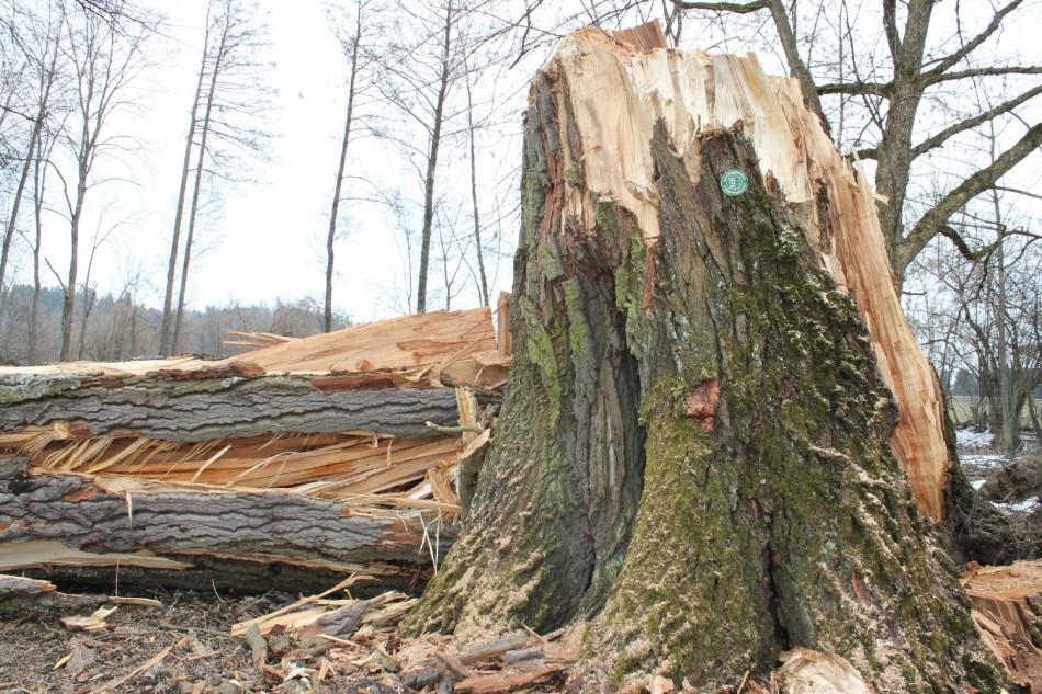 Schlosspark Mageregg: Umgestürztes Naturdenkmal darf weiterleben