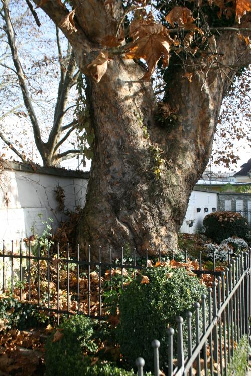 Älteste Platane Klagenfurts soll Naturdenkmal werden